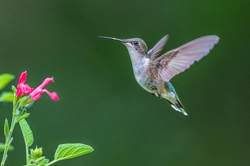 female wings wildlife flight nature flower palmyracovenaturepark pollen beauty hummingbird salvia bird rubythroatedhummingbird palmyra newjersey unitedstates us nikon d500 green