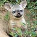 bat eared fox krefeld BB2A1431 by j.a.kok