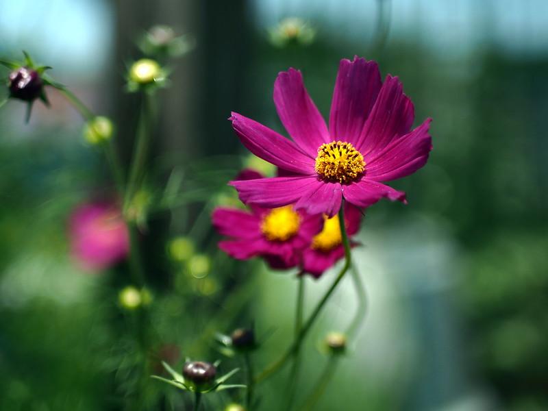 Summer-flowering cosmos / 夏咲きコスモス -2/4