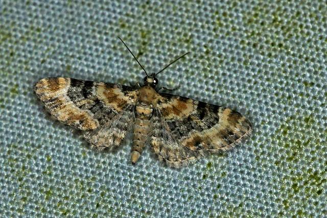 Vingerhoedskruiddwergspanner - Eupithecia pulchellata, Sony SLT-A55V, 105mm F2.8