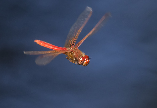Cardinal Meadowhawk (Sympetrum illotum)