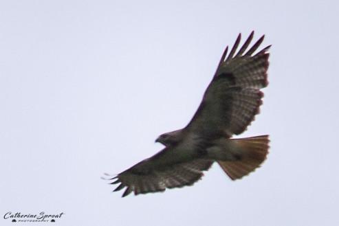 Hawk01