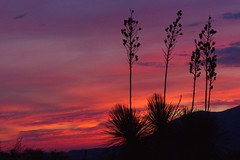 Yucca morning  {Explored} by jimsc