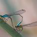 Blue-Tailed Damselflies in Wheel (Ian Tulloch)