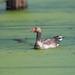 Greylag goose (Anser anser) 灰雁 huī yàn