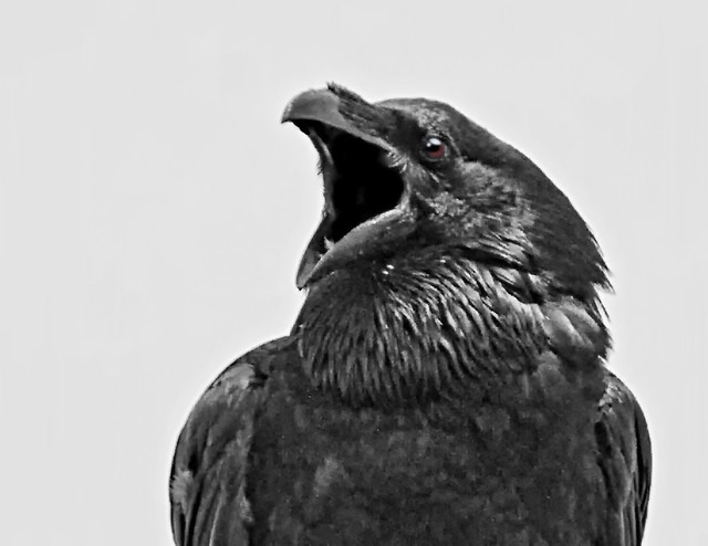 Raven ( Corvus corax ) - As Far As A Raven Goes Its Never Just Black And White !!