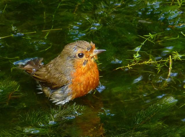 Robin bathing, Panasonic DMC-TZ25