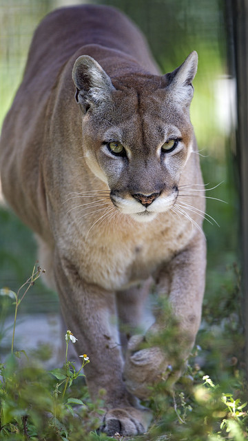 Cougar walking closer again