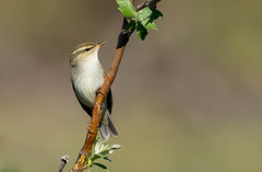 Old World Warblers