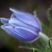 Pasque Flower © Frank Zurey - 3rd place Flora