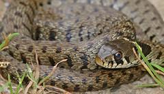 Grass Snake (Natrix helvetica) juvenile (found by Jean NICOLAS)