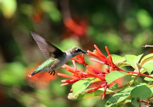 RUBY-THROATED HUMMINGBIRD @ Circle B Bar Reserve, Lakeland, Fl.