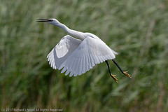 HolderLittle Egret (Egretta garzetta) taking off