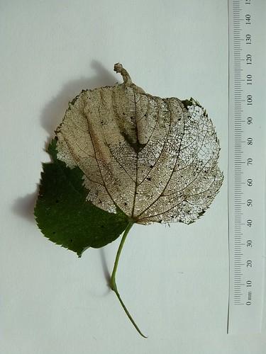 Tilia leaf