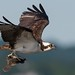 Osprey of Sandy Hook | 2017 - 25