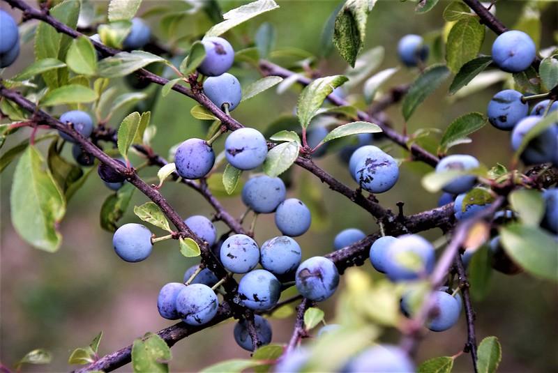 Hawthorn bush 12.07 (1)