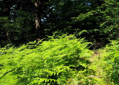nyár summer erdő forest saspáfrány commonbracken eaglefern easternbrakenfern fougèreaigle grandefougère adlerfarn felceaquilina ferigadecâmp țolullupului pteridiumaquilinum saspáfrányfélék dennstaedtiaceae olympusem5