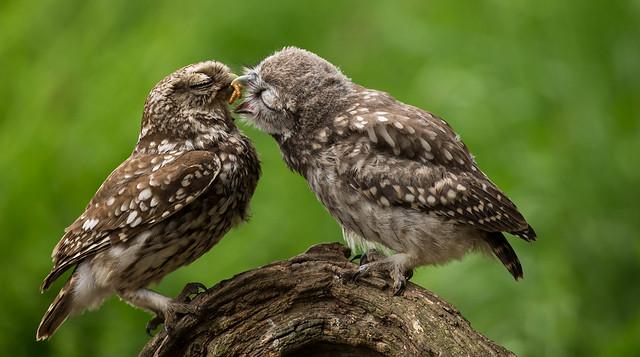 Little owl, feeding time.