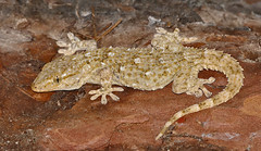 Moorish Gecko (Tarentola mauritanica)(found by Jean NICOLAS) - Photo of Malaussène