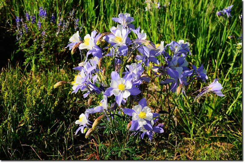 營地野花~Columbine 2