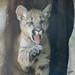 Cougar cub by tiggr222