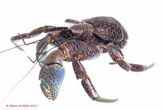 Coconut crab - Onna, Village