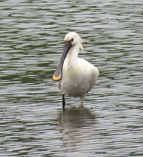 Spoonbill Platalea leucorodia Tophill Low NR, East Yorkshire July 2017