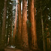 Sequoias by Connor Wyckoff