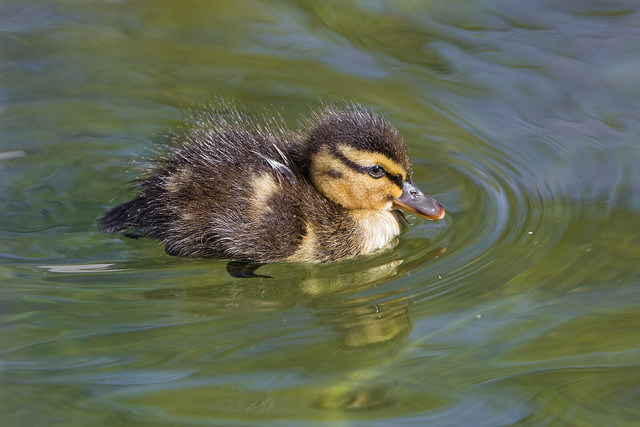 Second picture of a duckling