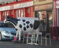 DSC_0453-cow-killarneyr-cropped