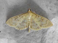 Mother of Pearl Moth (Pleuroptya ruralis)