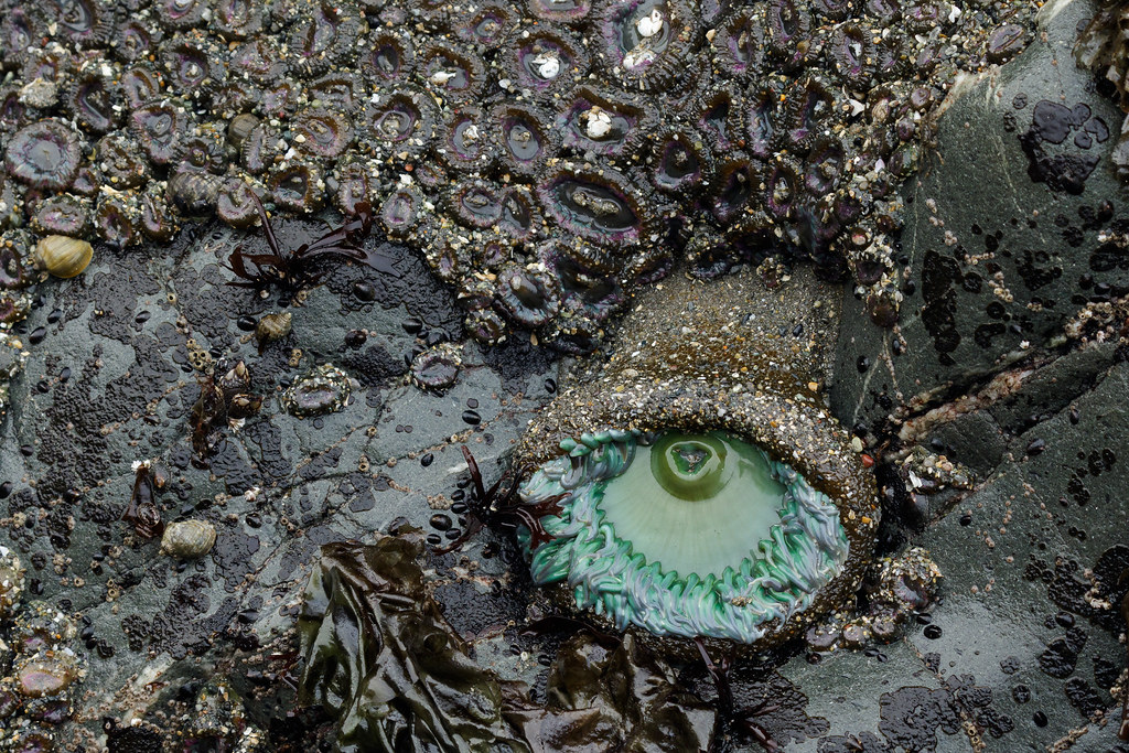 A giant green anemone sits beside a colony of aggregating anemones in a tide pool in Jedediah Smith Redwoods State Park