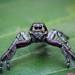 Jumping spider (  Hyllus Diardi sp - Male )