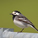 Pied Wagtail by Martial2010
