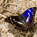 Purple Emporer Butterfly (Apatura Iris) by BiteYourBum.Com Photography