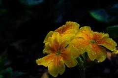 Shadowy Primula