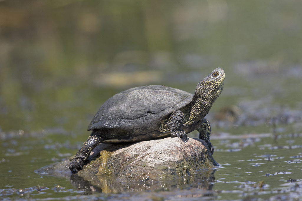 European Pond Turtle  Emys orbicularis