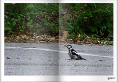 Great spotted woodpecker (m)