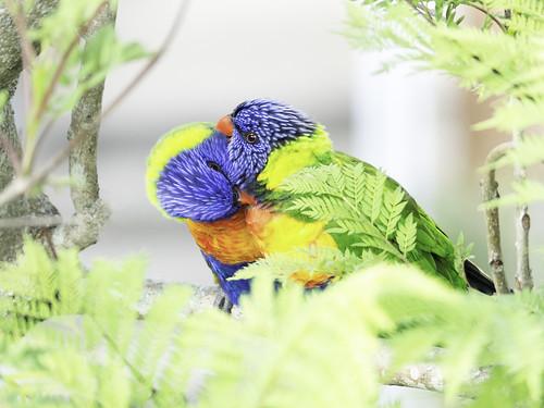 rainbowlorikeet parrot bird grooming jacaranda availablelight