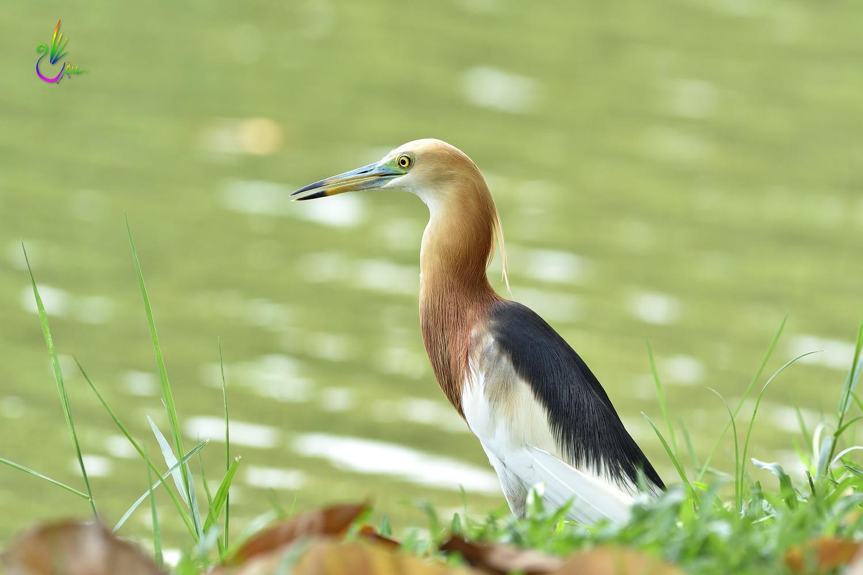 Javan_Pond_Heron_9785