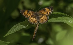 Mating Silvery Checkerspots - 2