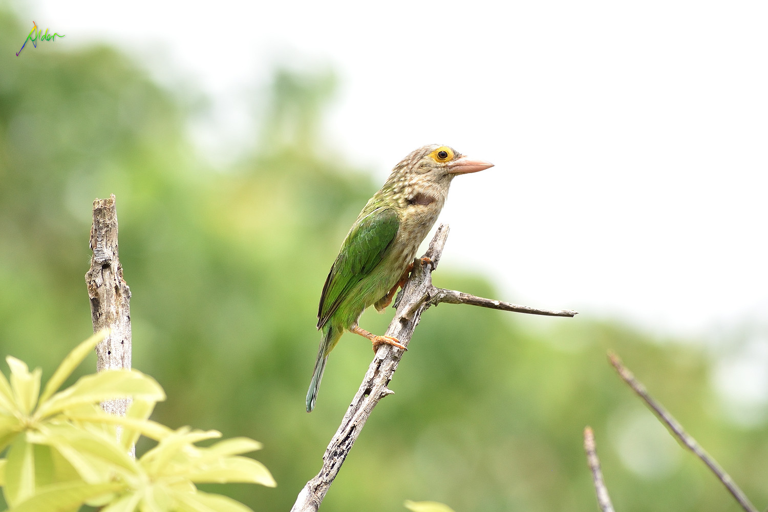 Lineated_Barbet_1536