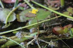 Inflated bladderwort (Utricularia inflata)