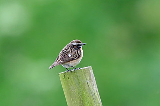 Whinchat, Buttermere, Cumbria, England