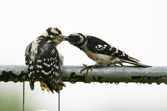 Downy Woodpecker with young