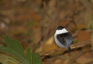 White-bearded Mannikin (Manacus manacus trinitatis)