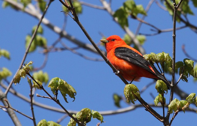 *** Scarlet tanager / Piranga écarlate/ Piranga  olivacea