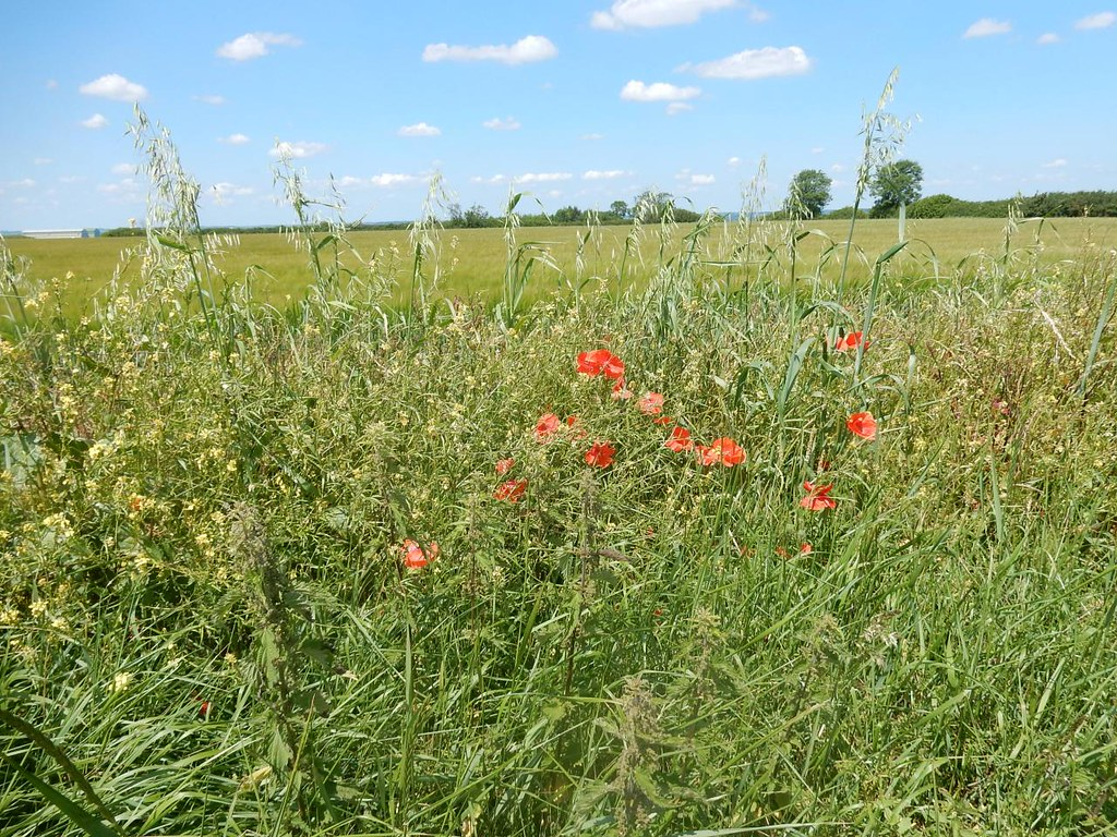 Poppies Sandy to Biggleswade