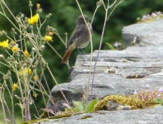 Male Black Redstart on the banks of the Dordogne at Beaulieu - Photo of Cornac