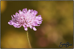 Scabious flowering by my pond